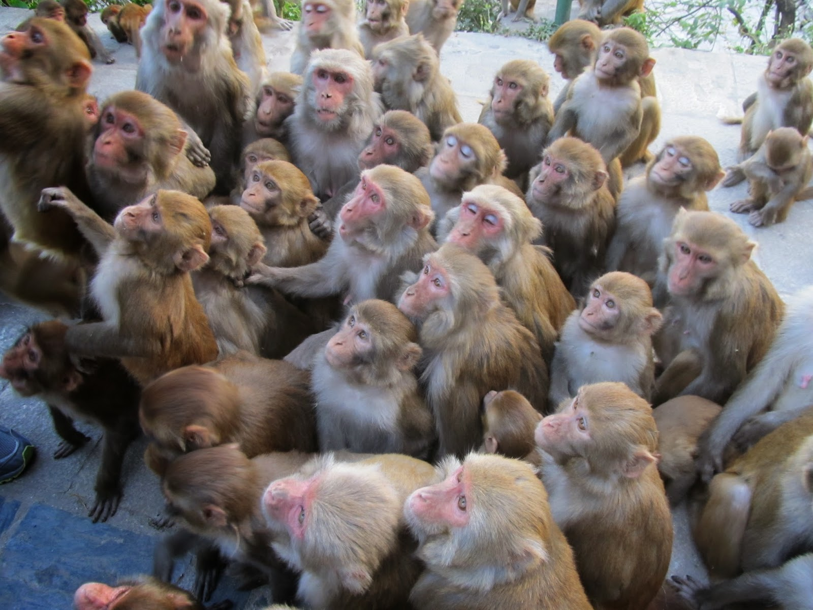 толпа или стадо обезьян это много мартышек сбившихся в кучу смотрят ждут