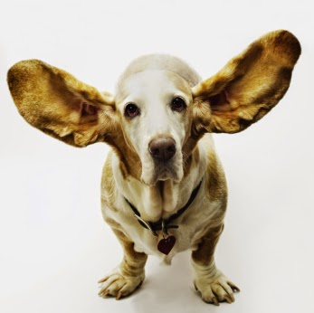 Beagle is pictured with its ears fanned out in the air.