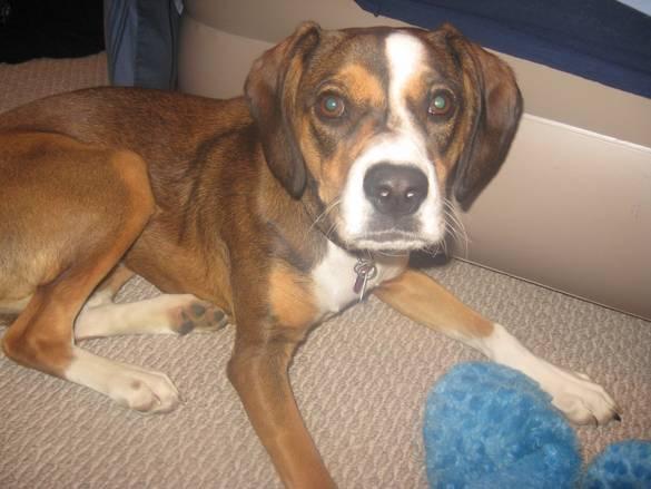 Beagle boxer mix