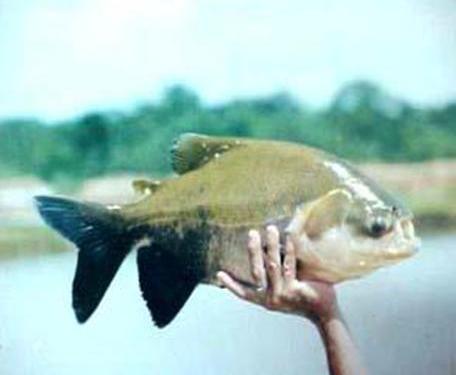 Curso fabricaci n artesanal alimentos para peces for Alimento para cachamas