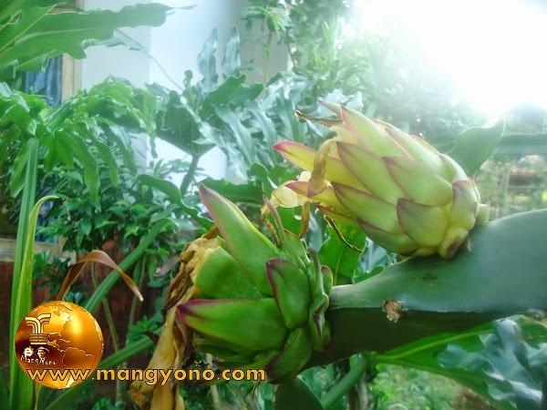 Bunga buah naga sebelah kanan berwarna kuning dan selanjutnya berwarna coklat akhirnya akan jatuh