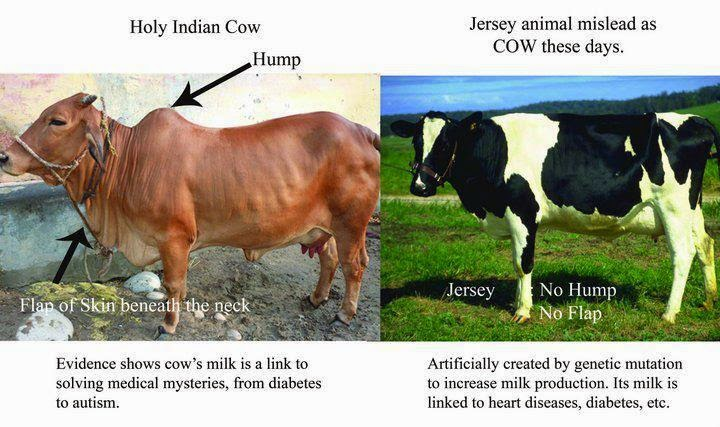 a comparison between human milk and cows milk A point by point comparison of the differences between goats milk and cows milk.