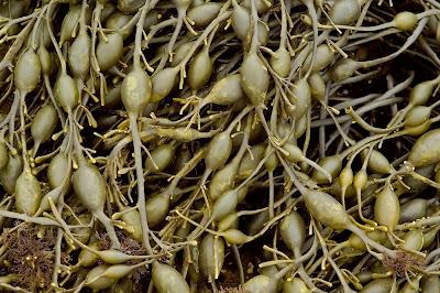Knotted WrackAscophyllum nodosum Polysiphonia lanosa