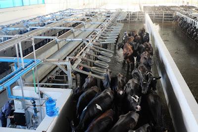 Mỗi ngày, một con bò được vắt sữa 2 lần cho khoảng 25 lít sữa/ngày.