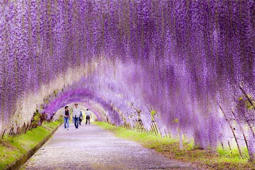 Wisteria Flower Tunnel Jalur di Jepang