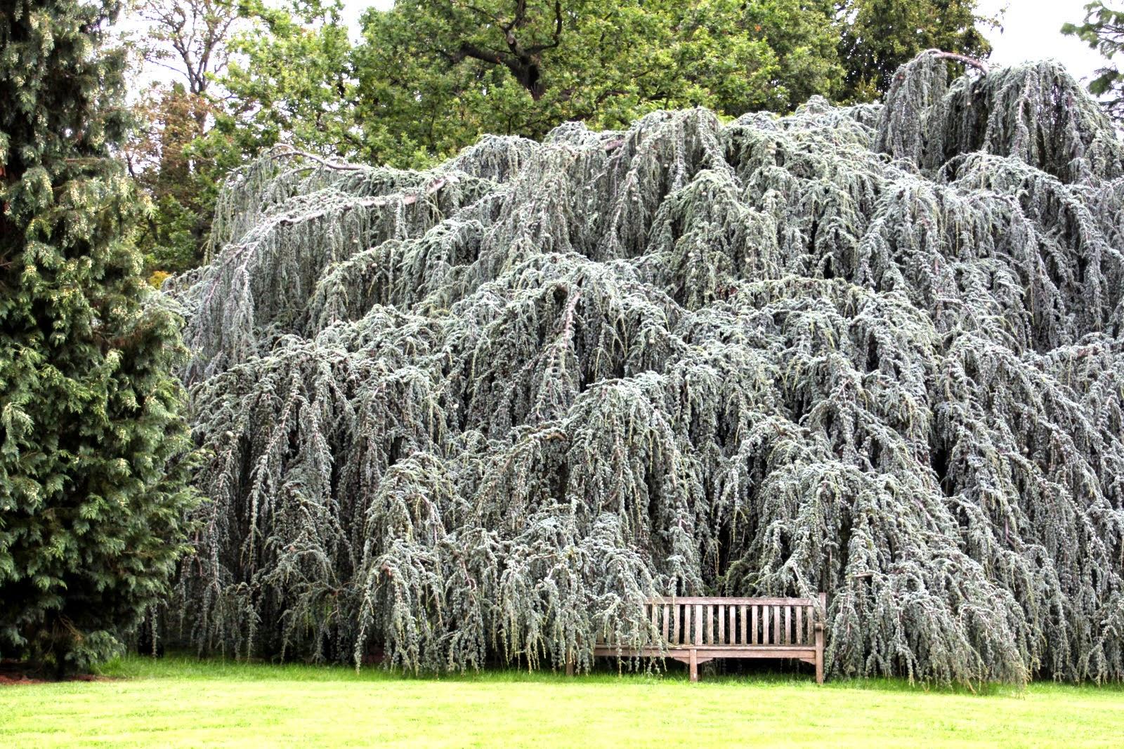 Arboretum de la Vallée aux Loups - cèdre bleu pleureur