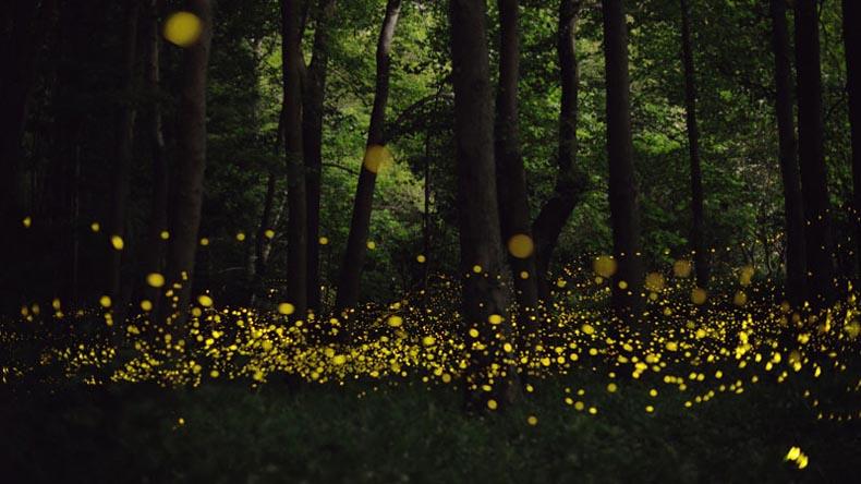 Fotos de larga exposición de luciérnagas iluminando el bosque de noche