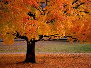 Bonito árbol durante el otoño. Un bonito árbol lleno de los colores de el . bonito ã¡rbol durante el otoã±o