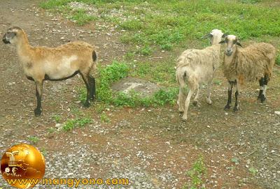 Ternak kambing tradisional di perdesaan