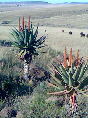 Aloe-Ferox-Eastern-Cape-Grasslands