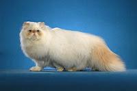 """""""himalayan cat"""""""