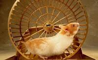 rato de laboratório, cobaia