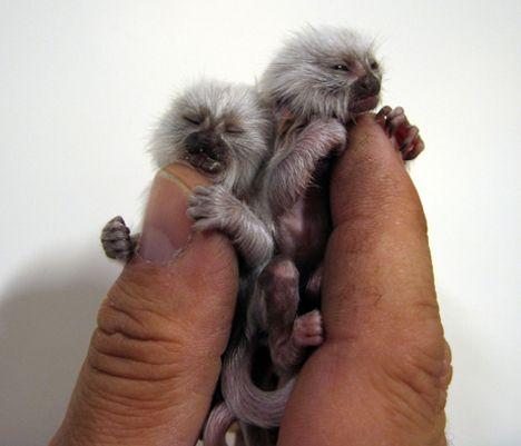 Cüce ıpek maymun maxicep com dünyanın en ilginç hayvanları