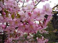 早咲きの河津サクラ