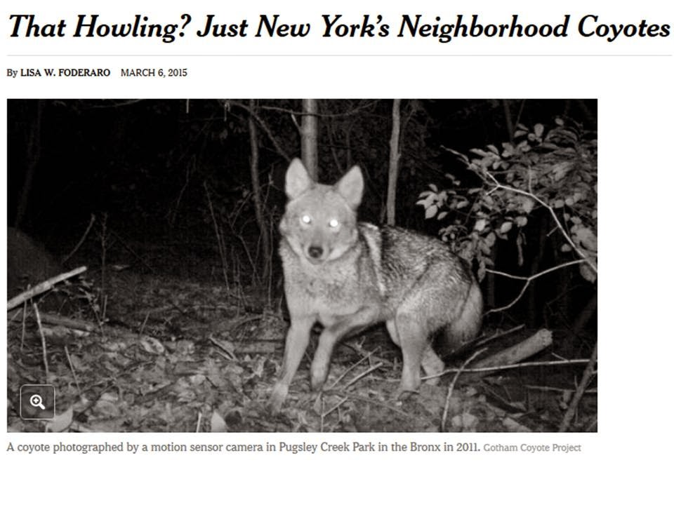 http://www.nytimes.com/2015/03/08/nyregion/that-howling-just-new-yorks-neighborhood-coyotes.html