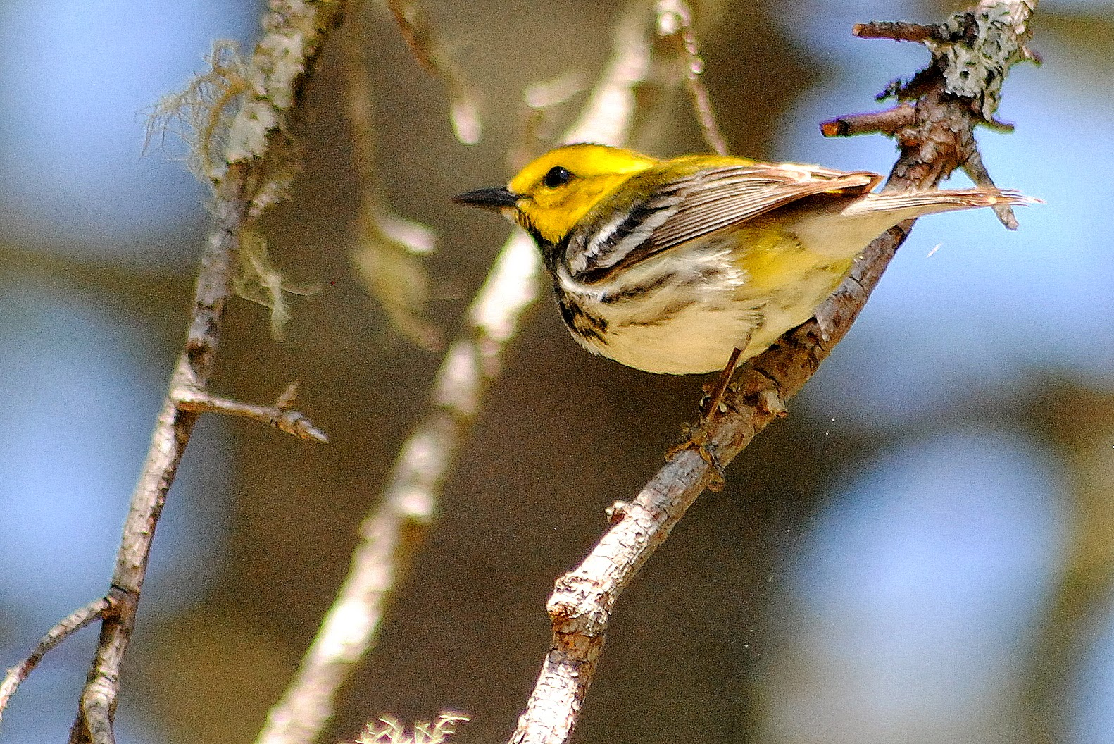 Birds of Ventura County and Beyond. Photos by John Apperson Black throated green warbler photos