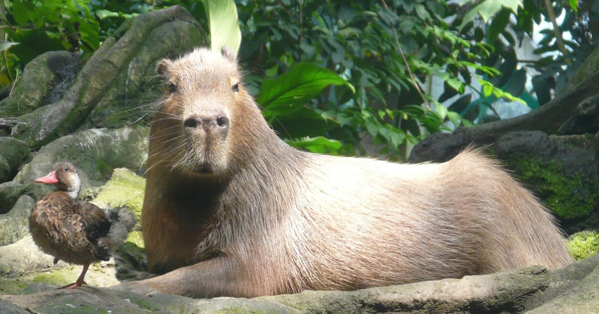 lexicolatry capybara   the world s largest rodent