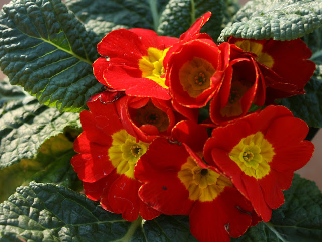 primrose, red, yellow, bright, plant, flower, cheerful, happy, S. Myers, Sarah Myers, photograph