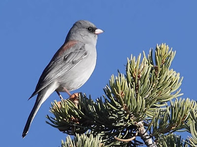 Dark-eyed Junco (Gray-headed)