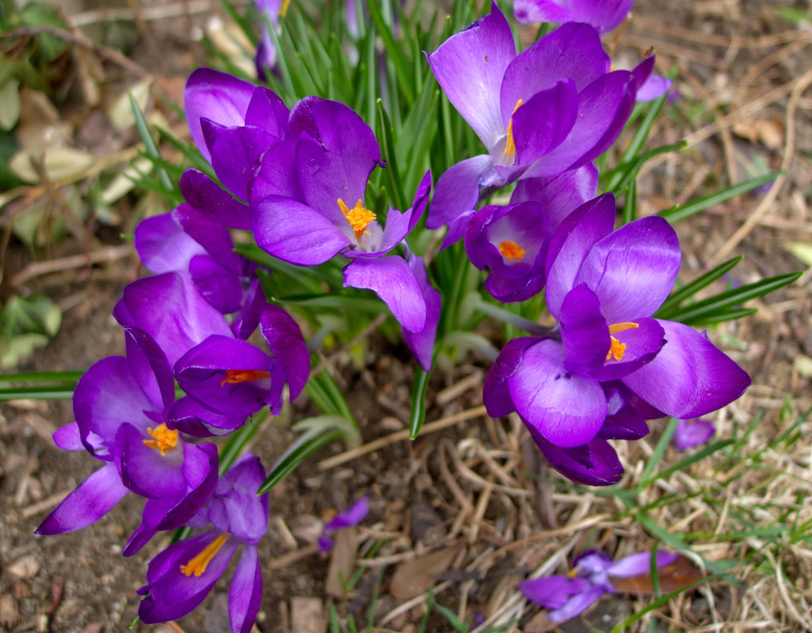 Crocuses, edible landscaping