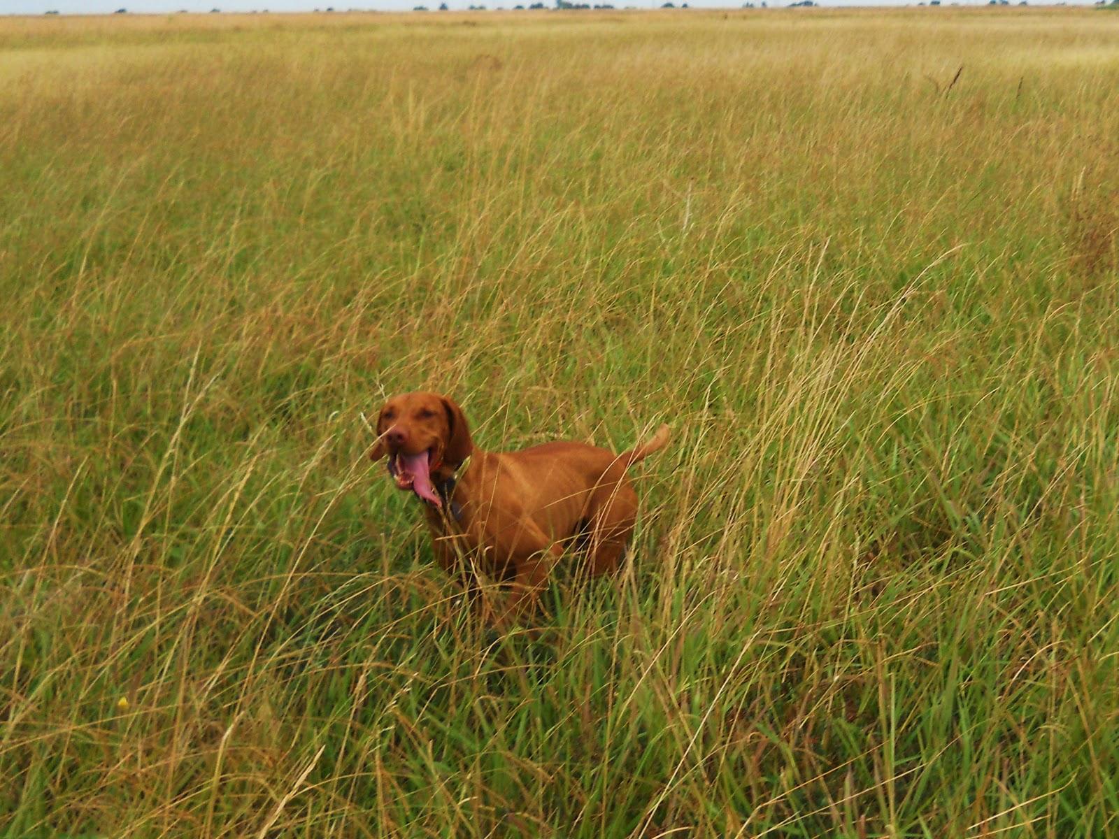 redbirddog - a hungarian pointer (vizsla) blog: First ...