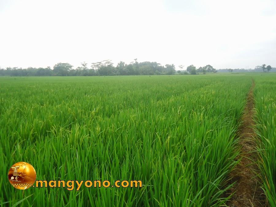 FOTO : Tanam padi menggunakan sistem tanam jajar legowo.