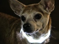Reasons to Consider LED Dog Collars for Your Pet