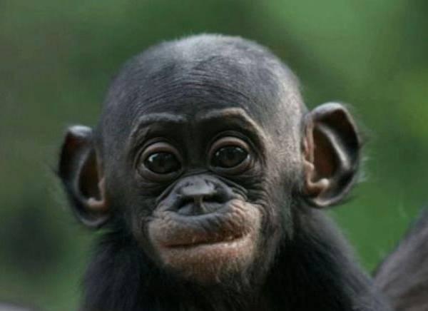 تعبيرات القرود تشبه البشر