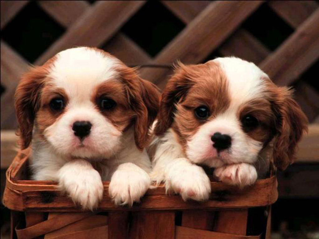 Cute Pupies Wallpaper 4