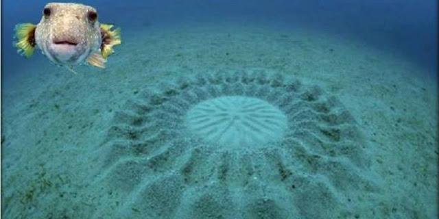 """Ikan Ini Ciptakan """"Crop Circle"""" di Dasar Laut"""
