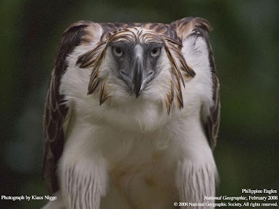 Philippine Eagle Wallpapers
