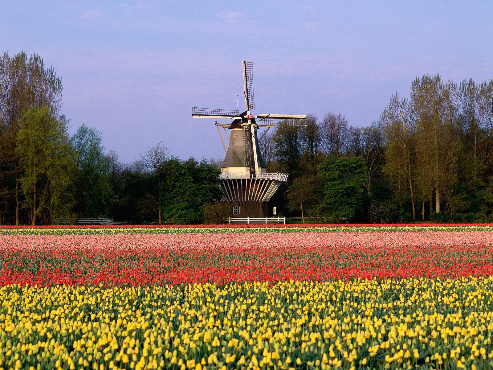 Tulip+garden+wallpaper