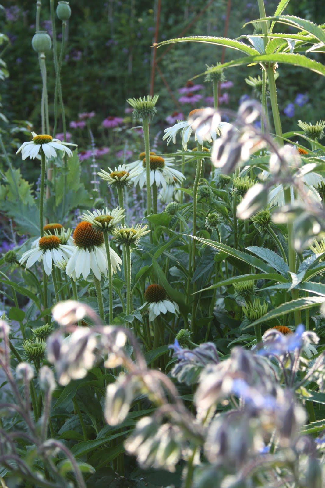 rudbeckia gurkört trädgårdsblogg