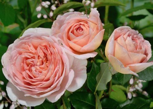 Abraham Darby rose сорт розы фото Минск Купить Саженцы