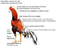 General characteristics of good fighting cock or gamecock rooster