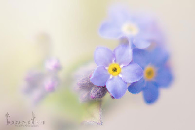 lensbaby blur - blue forget me not spring flowers