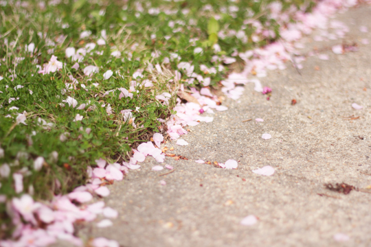 cherry petals on the ground