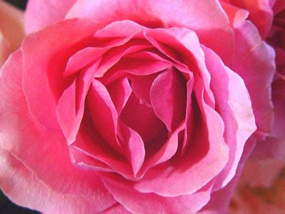 fotos de flores - rosa divina