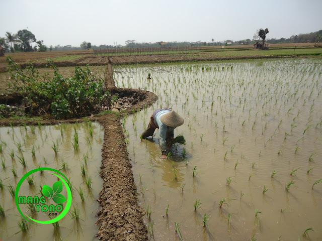 FOTO : Menanam padi disawahdan tambal sulam tanaman padi.