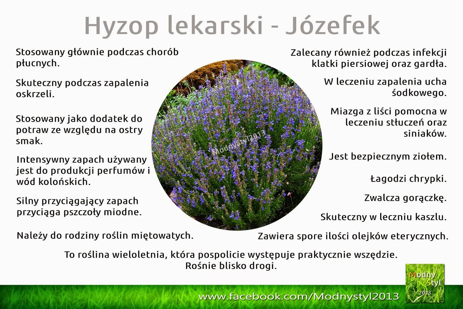 Hyzop lekarski czyli Józefek