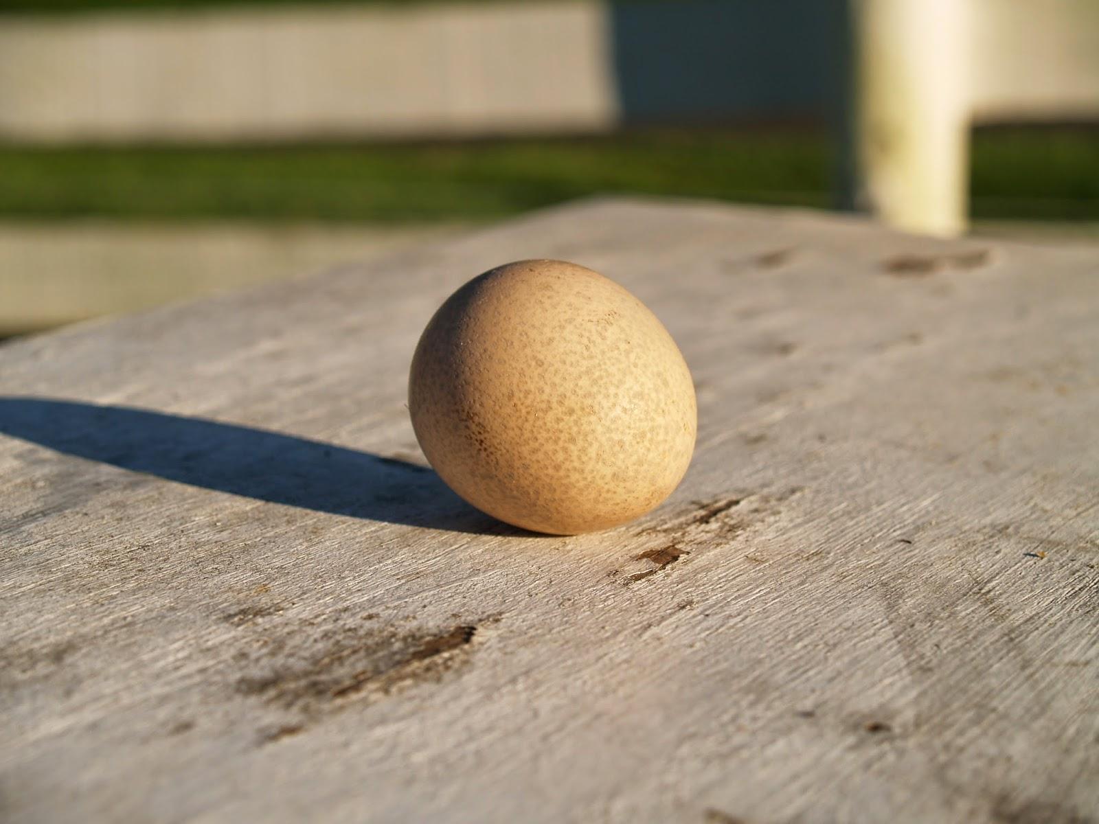 guinea egg, guinea fowl egg, guinea hen egg
