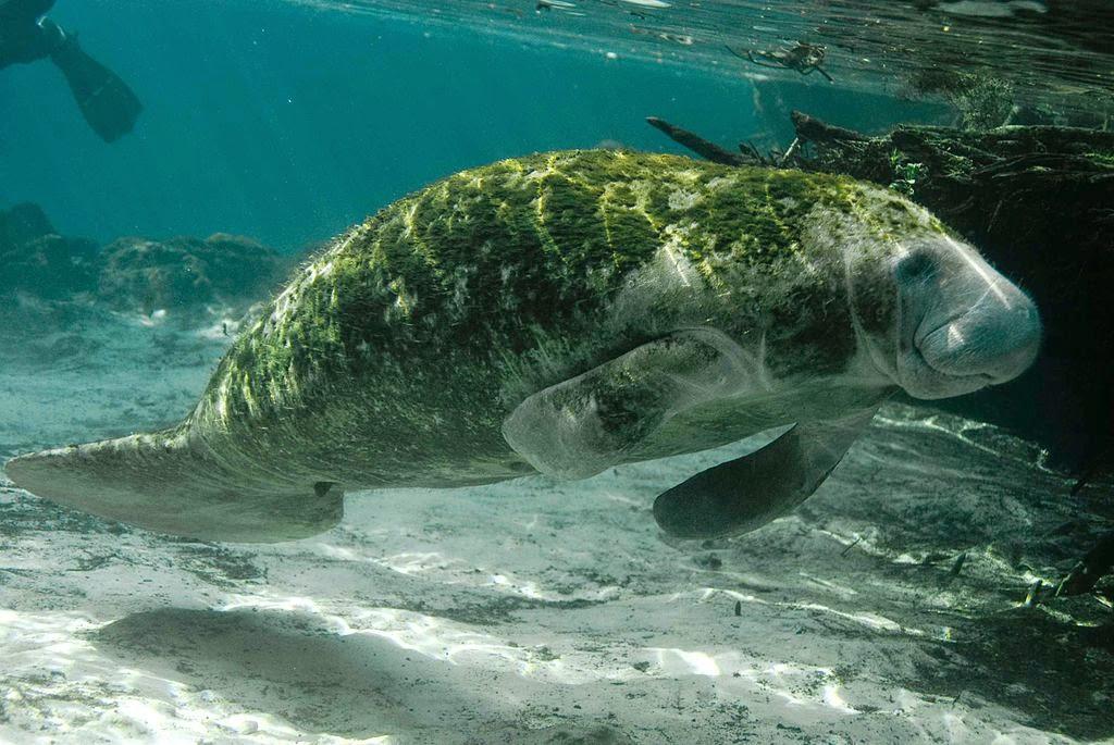 Peixe-boi-marinho-ameaçado-de-extinção-ministério-do-meio-ambiente