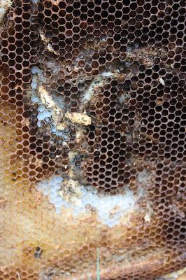wax moths in beehive