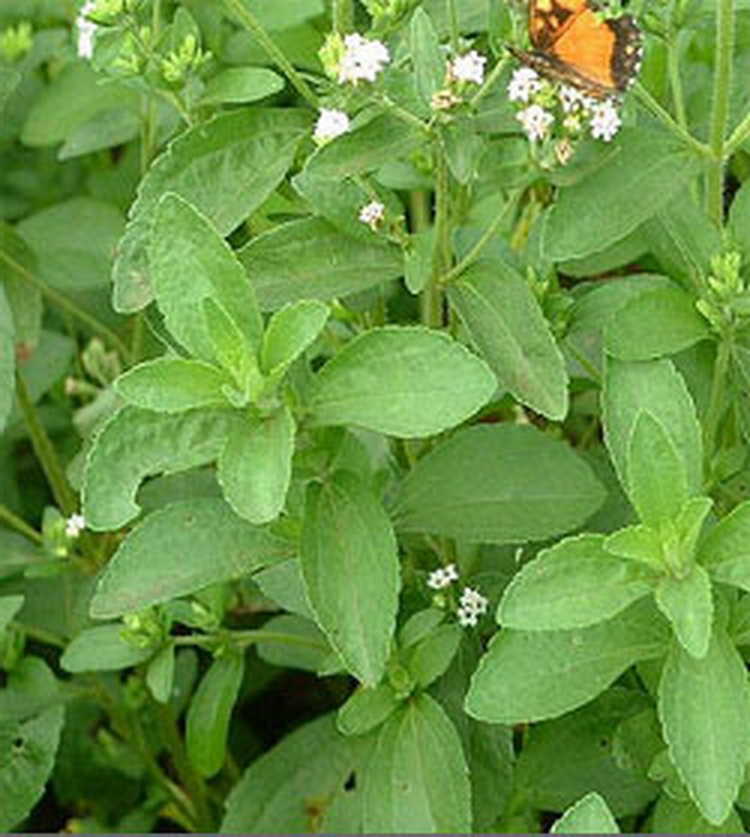 Seminte si plante de gradina hobby: Stevia rebaudiana