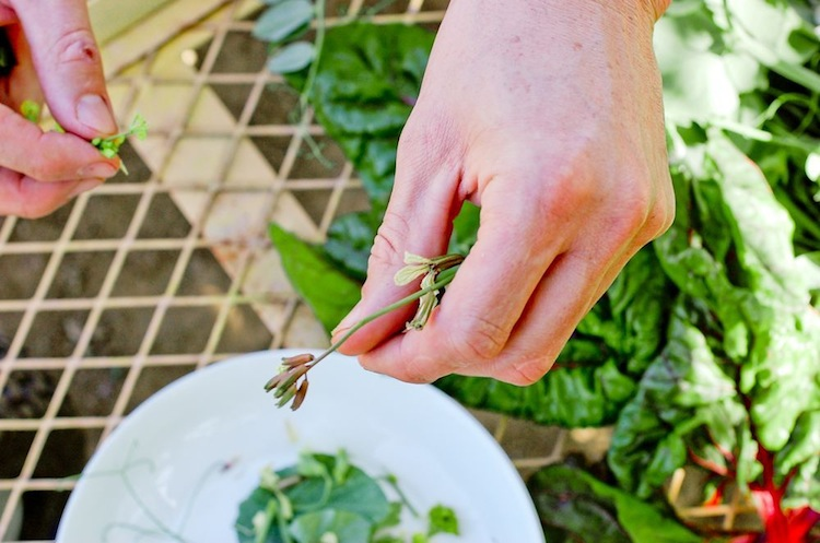 Sweet pea tendrils | Watanabe Farms | Food Styling + Photo via Chandara Creative