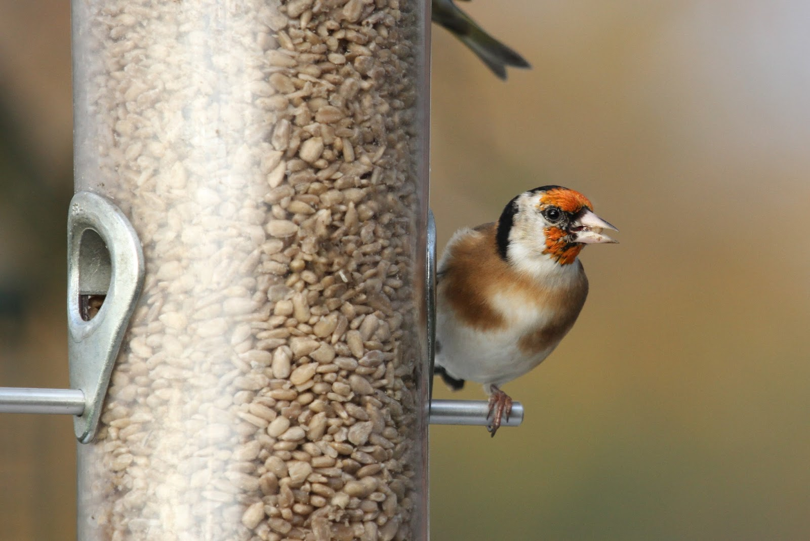 wilde about birds goldfinch survey charming to eat you