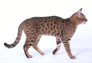 Gambar Kucing California Spangled