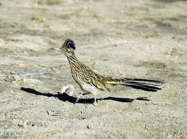 Greater Roadrunner 0951