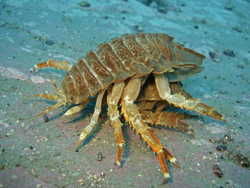 of the deep sea  The Giant Isopod  Bathynomus giganteus    30 PicsGiant Isopod Edible