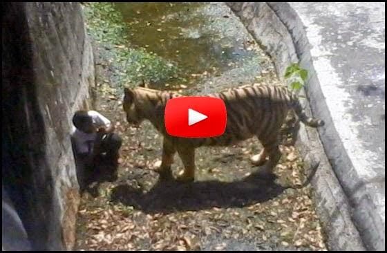 VIDEO Seorang Pelajar Sekolah Dalam Kandang Harimau Putih Sebelum Maut Diserang